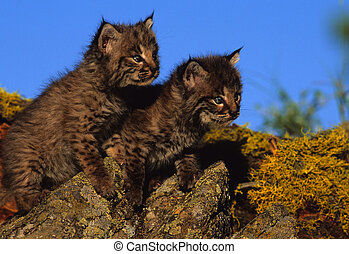 Baby Bobcats - a pair of cute baby bobcats on a rock