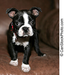 Baby Boston Terrier - Boston Terrier Puppy looking at the...