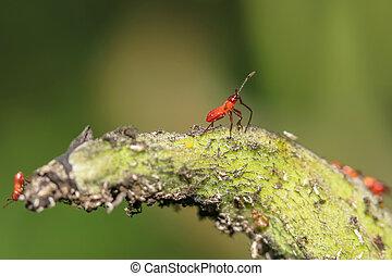 Baby Box elder bugs on the leaf