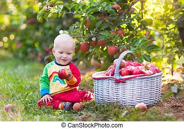 Baby boy picking apples in fruit garden