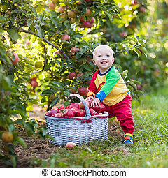 Baby boy picking apples in fruit garden