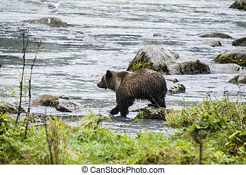 Baby Brown Bear Catching A Fish