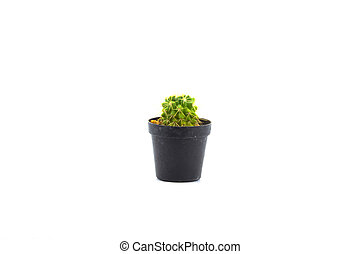 Baby cactus in pot isolated