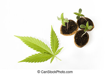 baby cannabis plant vegetative stage of marijuana growing