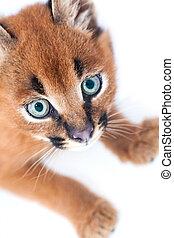 Baby Caracal - Caracal kitten on white studio background