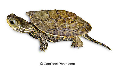 Baby caspian turtle