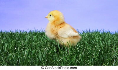 Baby Chick Chirping - Single young chicken chirping on a...