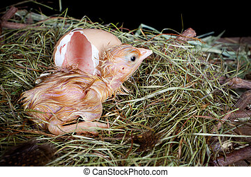 Little wet baby chicken hatched out of a brown egg