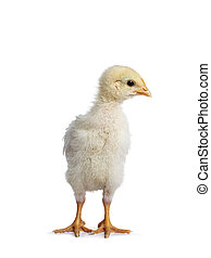 Baby chick on white background