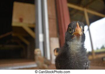 Baby Chick Portrait Close up
