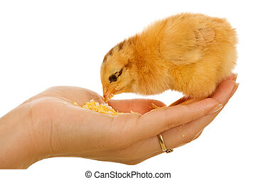 Baby chicken in woman hand eating