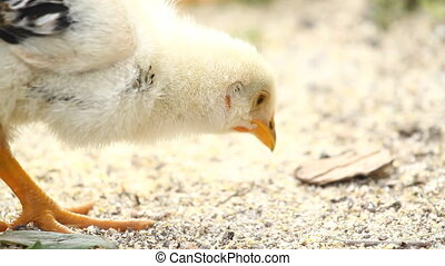 Baby chickens eating the grain