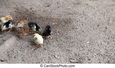 Baby Chickens Feeding on the Ground