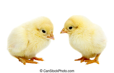 Baby Chickens - Two baby chickens isolated on white