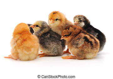 chicks - baby chicks isolated on white. Studio Shot.