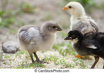 Baby chicks on nature background