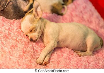 Baby chihuahua Sleeping, Nature