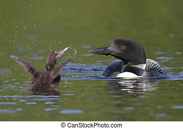 Baby Common Loon Shows Off For Mom