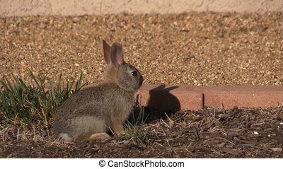 a cute baby cottontail rabbit