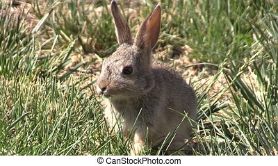 a cute baby cottontail rabbit eating green grass