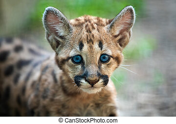 Baby cougar, mountain lion or puma