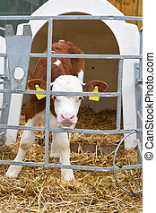 Baby cow calf in a cage