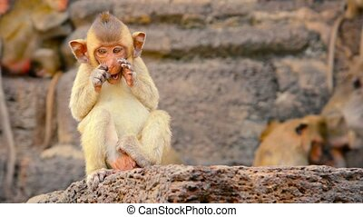1920x1080 video - Baby Crab Eating Macaque, sitting on a rock and scratching his face before wandering off camera in Phra Prang Sam Yod, Thailand.