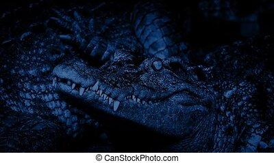 Baby Crocodile Alert At Night