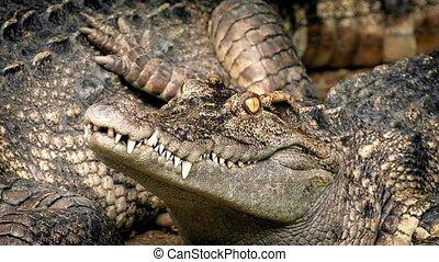 Baby Crocodile Next To Mother - Closeup of baby crocodile...