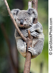 Baby cub Koala (Phascolarctos cinereus) sit on eucalyptus tree branch in Australia.