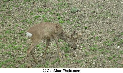 Baby Deer Grazing