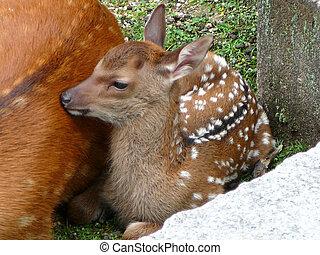 Baby deer resting
