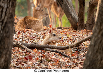 Baby deer - The Sika deer is one of the few deer species ...