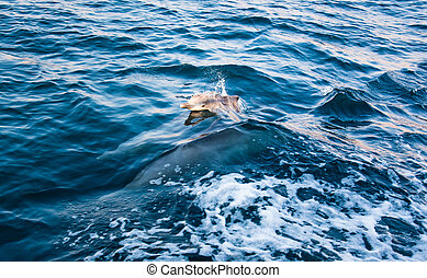 Baby dolphin rising above crystal clear water