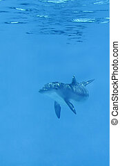 Baby Dolphin Underwater