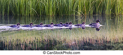 Eight baby ducklings swimming in line behind their mother on the Snake River in Grand Teton National Park, WY