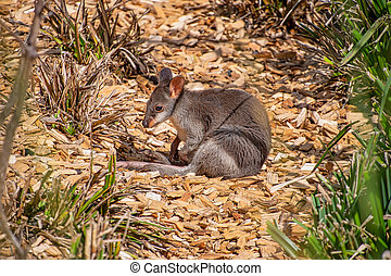 Dusky Pademelon - endangered also known as Dusky Wallaby - ...
