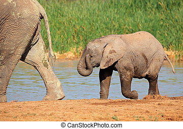 Baby elephant at waterhole - A baby African elephant...
