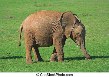 Baby Elephant - Baby African Elephant on the grass plains of...
