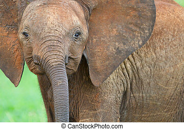 Baby elephant - Cute baby elephant in Tarangire national...