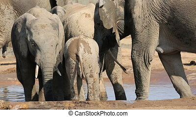 A baby African elephant (Loxodonta africana) and cows drinking water, Addo Elephant National Park, South Africa