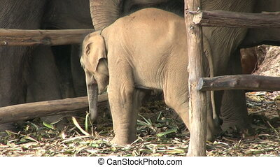 Baby Elephant Eating In The Rain