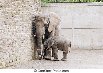 Baby elephant near big mother in zoo