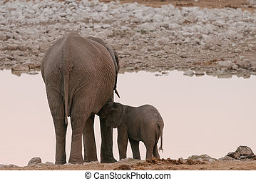 Baby elephant nursing from mother at waterhole
