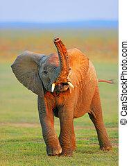 Baby Elephant - raised trunk