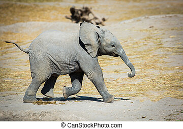 Baby elephant running sideways