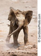 Baby elephant running - Baby Elephant mock charging;...