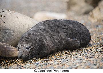 Baby elephant seal in Peninsula Valdes, patagonia, Argentina.