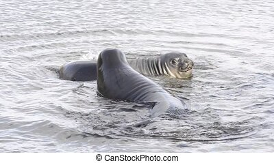 two Baby Elephant Seals playng in the water South Georgia