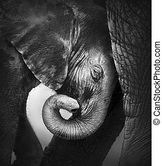 Baby elephant seeking comfort against mother's leg - Etosha...